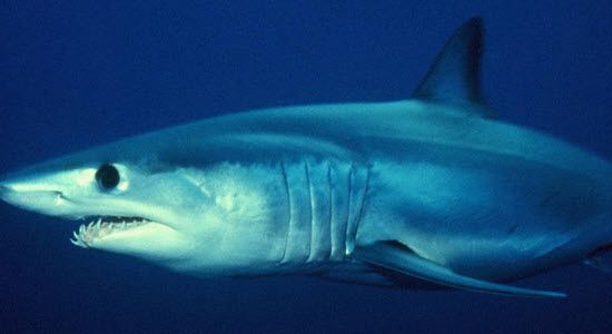 зубов акулы